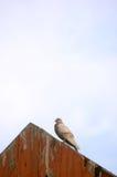 Piccione sul tetto fotografia stock