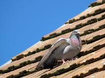 Piccione sul tetto di mattonelle rosse Fotografia Stock Libera da Diritti