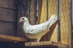 Piccione tedesco bianco di homer di bellezza Fotografia Stock Libera da Diritti