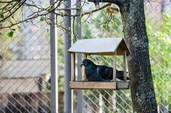 Piccione in una mangiatoia di legno su un albero fotografie stock libere da diritti