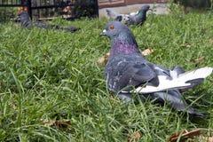 Piccione urbano calmo bluastro che riposa sull'erba immagini stock