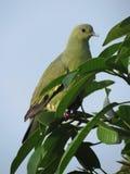 piccione verde Rosa-con il collo - femmina fotografia stock libera da diritti