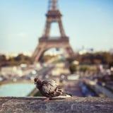 Piccione vicino alla torre Eiffel Immagini Stock Libere da Diritti