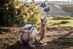 Piccione volante che gioca con la regolazione del cammello nel primo mattino immagini stock