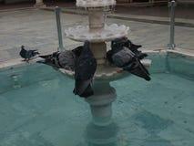 piccioni Fotografie Stock Libere da Diritti