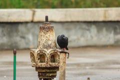 piccioni fotografie stock