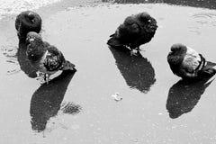 piccioni Immagini Stock Libere da Diritti