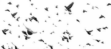 piccioni Immagini Stock