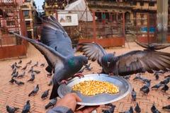 Piccioni affamati che mangiano i grani da un piatto fotografia stock libera da diritti