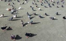 Piccioni alla spiaggia nel Cipro Fotografia Stock Libera da Diritti