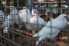 Piccioni bianchi in gabbia Fotografia Stock