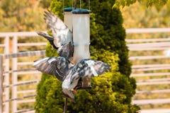 Piccioni che combattono sopra il seme dall'alimentatore dell'uccello a Frederik Meijer Gardens immagini stock libere da diritti
