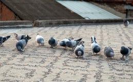 Piccioni che si alimentano tetto Fotografia Stock