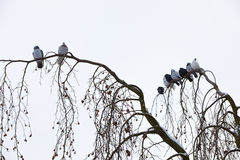 Piccioni che si siedono sul ramo nell'inverno Immagine Stock Libera da Diritti
