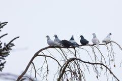Piccioni che si siedono sul ramo nell'inverno Immagini Stock