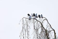 Piccioni che si siedono sul ramo nell'inverno Immagine Stock