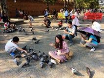 Piccioni d'alimentazione in Chiang Mai Thailand Fotografia Stock