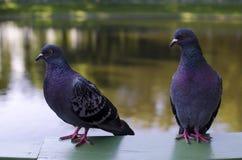 Piccioni degli uccelli Immagine Stock Libera da Diritti