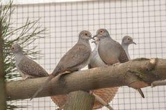 Piccioni degli uccelli in gabbia sul ramo Fotografia Stock