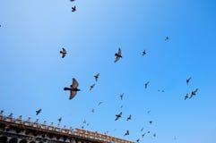 Piccioni di volo Immagini Stock Libere da Diritti