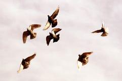 Piccioni di volo Fotografia Stock
