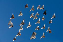 Piccioni di volo Immagini Stock