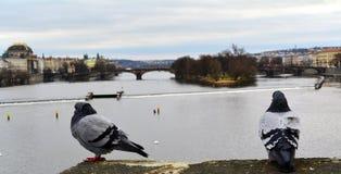 Piccioni e fiume Fotografia Stock