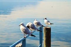 Piccioni nel lago geneva, Montreaux Fotografie Stock