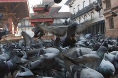 Piccioni nel Nepal Fotografia Stock Libera da Diritti