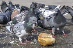 Piccioni nel parco che mangiano le briciole di pane fotografia stock