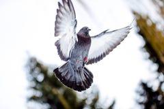 Piccioni selvaggi nell'inverno su neve Immagini Stock Libere da Diritti