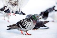 Piccioni selvaggi nell'inverno su neve Fotografia Stock