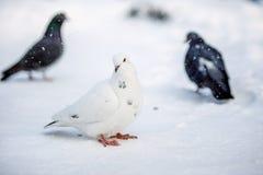 Piccioni selvaggi nell'inverno su neve Immagini Stock
