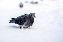 Piccioni selvaggi nell'inverno su neve Fotografia Stock Libera da Diritti