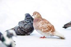 Piccioni selvaggi nell'inverno su neve Fotografie Stock