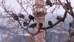 Piccioni su un albero davanti ad una moschea Sarajevo - in Bosnia immagine stock