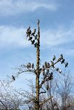 Piccioni su un albero di inverno Immagine Stock