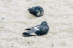 Piccioni su una spiaggia sabbiosa fotografia stock