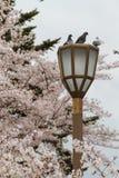 Piccioni sull'alberino della lampada con la priorità bassa di sakura Fotografia Stock Libera da Diritti