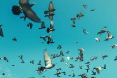 Piccioni in un cielo blu Concetto di viaggio della destinazione di libertà fotografia stock