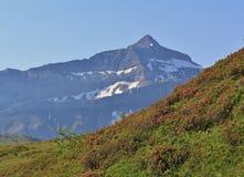 Picco del Oldenhorn e del prato con Alpenrosen Immagini Stock