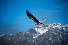 Picco di montagna del cielo blu degli avvoltoi salire liberamente mosca immagini stock