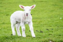 Piccola abitazione sveglia dell'agnello nel bello campo scozzese verde immagini stock libere da diritti
