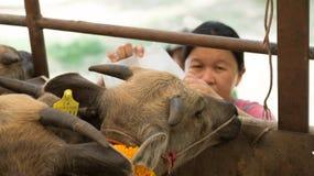 Piccola acqua della bevanda del bufalo dalla donna non identificata dall'ANIMALE DOMESTICO cont. Immagini Stock Libere da Diritti