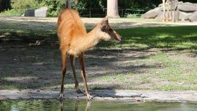 Piccola acqua potabile sveglia di Bambi acqua potabile sveglia di Bambi del lago dalla piccola da un lago stock footage