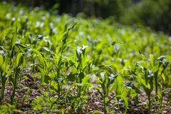 Piccola agricoltura del campo di grano Natura verde Terra rurale dell'azienda agricola nella s Immagine Stock
