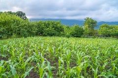 Piccola agricoltura del campo di grano Natura verde Terra rurale dell'azienda agricola nella s Fotografia Stock Libera da Diritti
