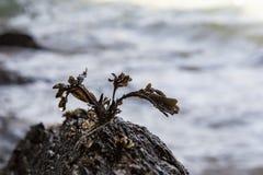 Piccola alga sopra una roccia sulla spiaggia fotografia stock libera da diritti