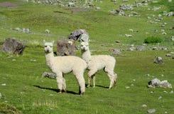 Piccola alpaca bianca simile a pelliccia sveglia Fotografie Stock