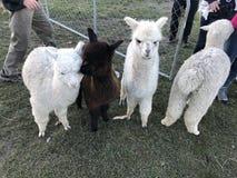 Piccola alpaca del bambino della Nuova Zelanda Alpaca-3 Fotografia Stock